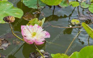pink flower floating in lake