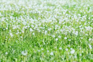 wildflower field with white flowers