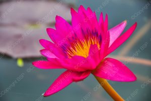 hot pink flower with yellow center