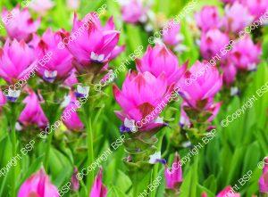 hot pink flowers in field