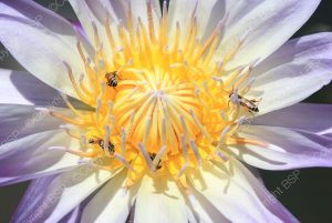 purple flower with yellow center with bees
